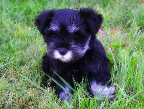 Miniature Schnauzer Puppies For Sale Near You My Lovable Schnauzers