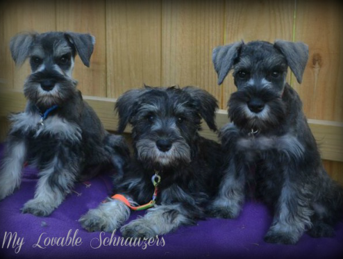 My Lovable Schnauzers Miniature Schnauzer Puppies For Sale In Your
